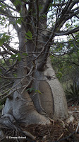 Baobab digitata - Koko Crater Botanical Garden, Oahu, HI