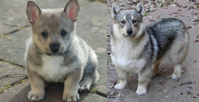 Meet the Swedish Vallhund, an amazing looking dog with a 1000 years of history.