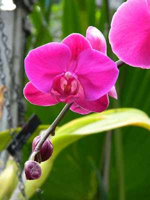 2018 Allan Gardens Conservatory Winter Flower Show magenta Phalaenopsis by garden muses--not another Toronto gardening blog