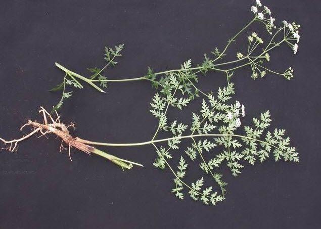 Phòng Phong - Ledebouriella seseloides - Nguyên liệu làm thuốc Chữa Cảm Sốt