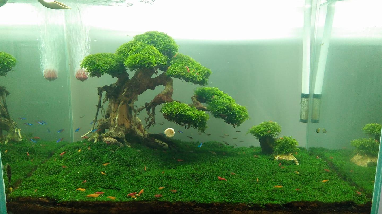 Hồ thủy sinh với cây bon sai buộc rêu mini taiwan