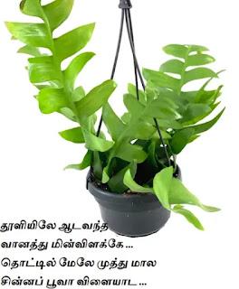 Epiphyllum outdoor Plant