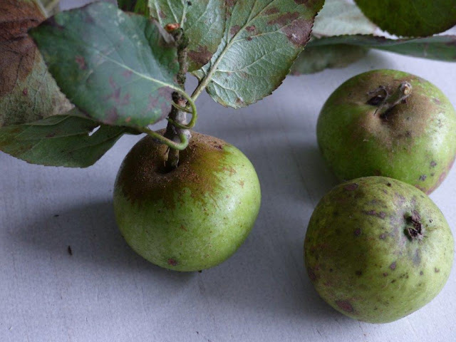 Äpfel einkochen Apfelkompott Rezept Herbst Vanille Ingwer Kurkuma brauner Zucker Zimt Amaretto Minze Schraubgläser selbstgepflückt