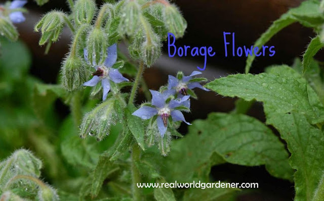 1-1-1-Borage-Flowers-for-blog.jpg