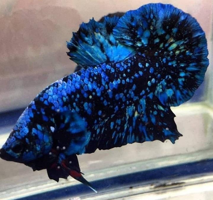 Cupang Avatar Gordon 2021 - Sejarah dan Jenis Ikan Cupang Avatar