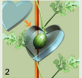 Cara mudah budidaya semangka cinta