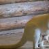 В Экопарке родился кенгуру-альбинос