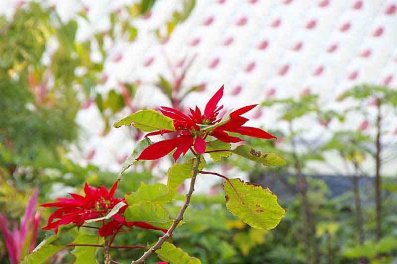 poinsettia flower and tiled roof in Okinawa
