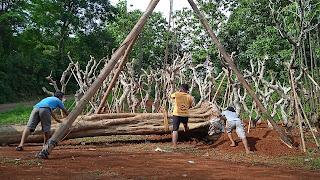 Pohon kecrutan atau sphatodea