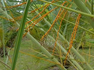 Phoenix dactylifera - Palmier dattier