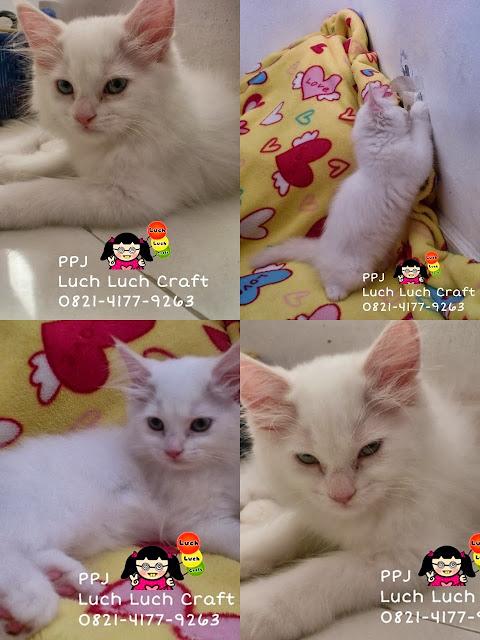 kucing anggora putih surabaya sidoarjo