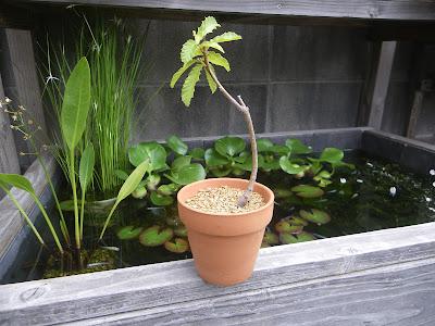 どんぐり クヌギ ミニ盆栽
