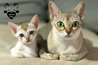 tahapan perkembangan kucing