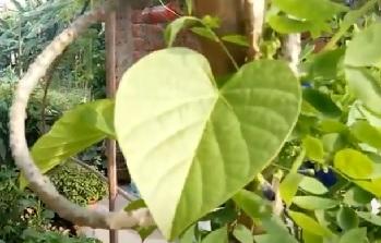 giloy tree, giloy plant, giloy benefit, giloy leaf