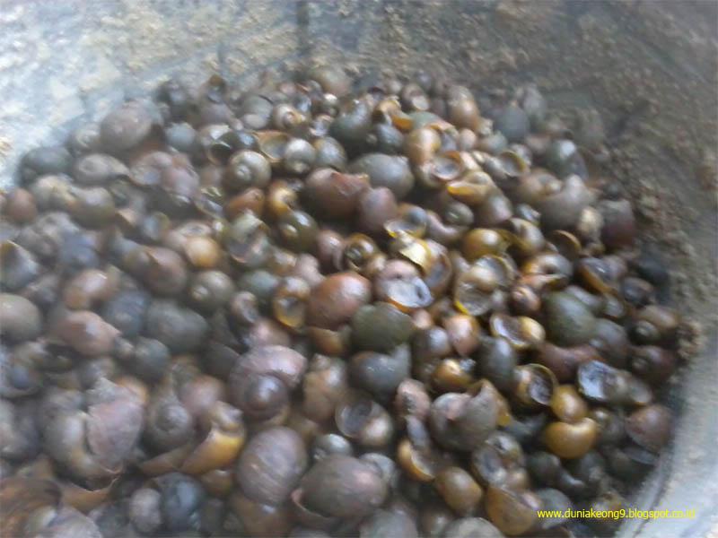 Gizi Pakan Buatan Sendiri Ternak Bebek Dan Itik