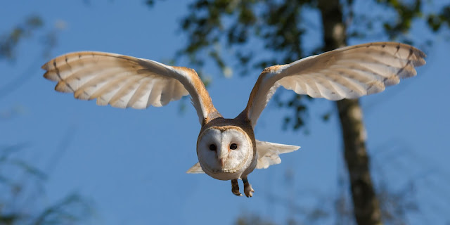 Learn how to keep owls away from chickens and how to appreciate the benefits owls have on the farm.