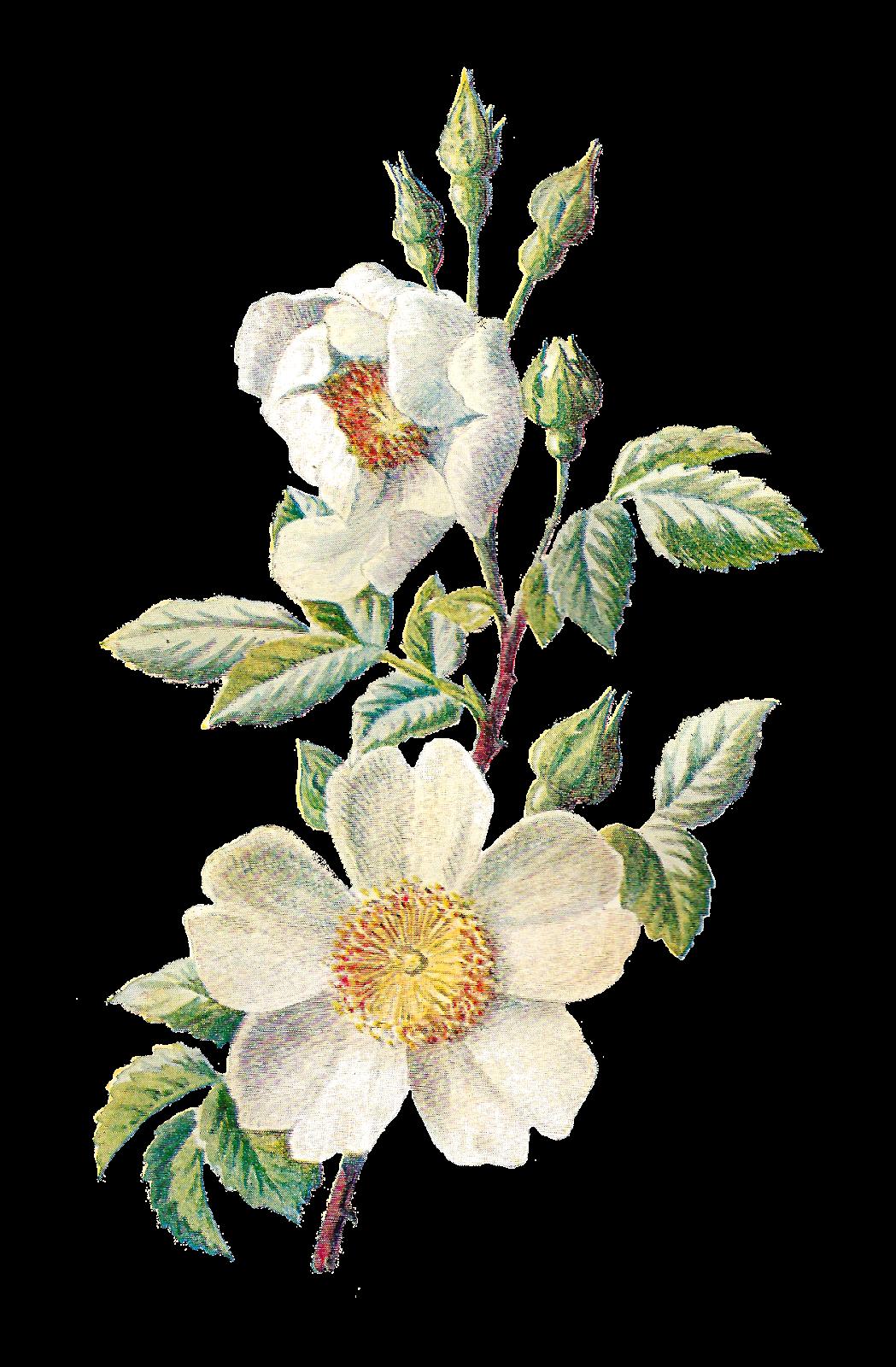 Antique Images: Stock Wildflower Botanical Digital Artwork Flower Illustration Downloads