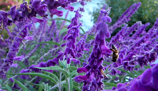 purple fuzzy Mexican sage with bee