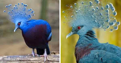 Victoria-crowned-pigeon-are-the-most-beautiful-pigeon