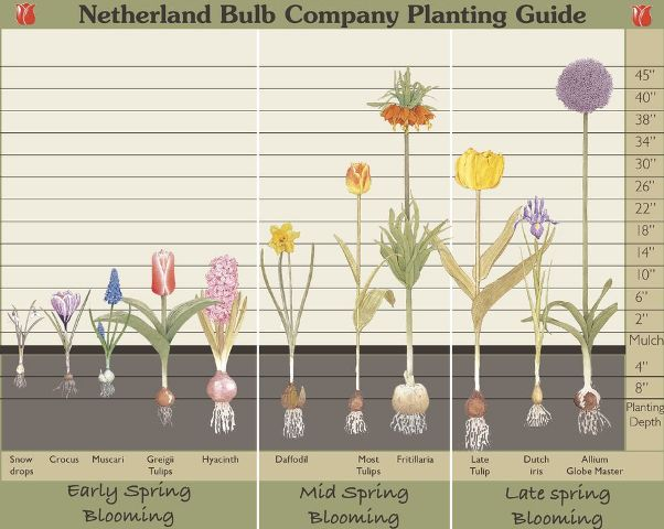 How to Plant Fall Bulbs