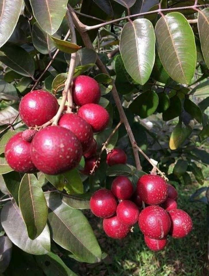 bibit kelengkeng merah unggul berbunga berbuah lebat Batam