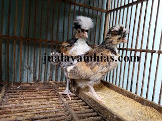 Ayam Poland Usia 2 Bulan