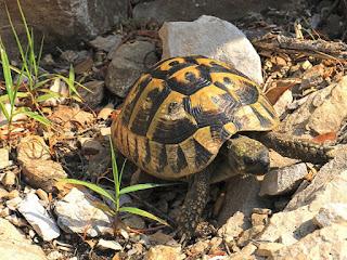 merawat-kura-kura-hermani-untuk-pemula.jpg