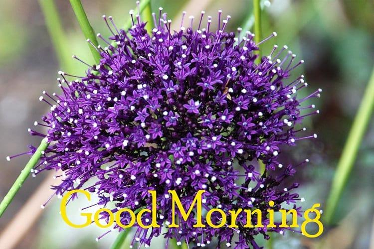 Good Morning Trachelium Flowers