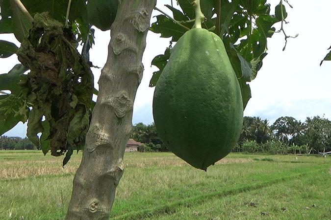 Dlium Papaya (Carica papaya)