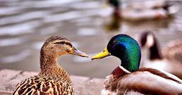 ¿Qué significa soñar con patos?