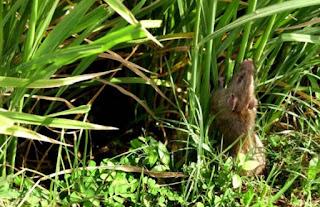 Apa itu hama tikus?