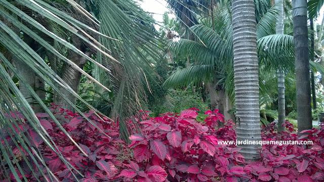 Hojas de Sangre (Iresine herbstii) y Cocos Plumosos (Syagrus romanzoffianum)