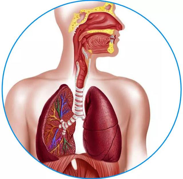 Ada 3 bagian utama dari sistem pernapasan: saluran napas, bagian paru-paru, dan otot-otot pernapasan. Saluran napas, yang meliputi hidung, mulut, faring, laring, trakea, bronkus, dan bronkiolus, membawa udara di antara paru-paru dan bagian luar tubuh.