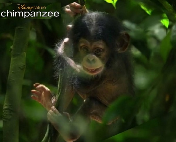 Chimpanzee movie - 3-year old chimp plays alone up in a tree