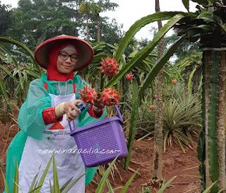 Asiknya Wisata Petik Buah Naga di Kebun Wakaf Subang, Yuk Jalanin Bareng!