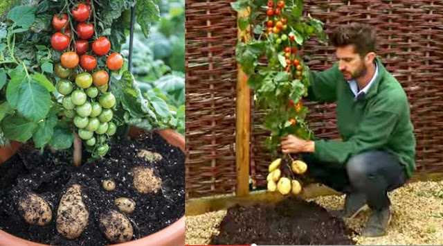 Tanaman Ajaib ini Berbuah Tomat sekaligus Kentang