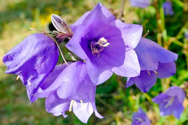 Tüylü Çan Çiçeği (Campanula Tomentosa) sadece Dilek Yarımdası'nda yetişiyor.