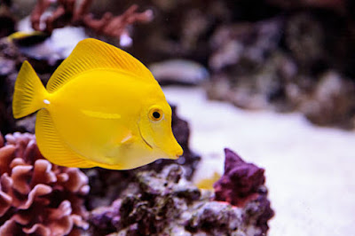 Ikan Hias Air laut Yellow Tang