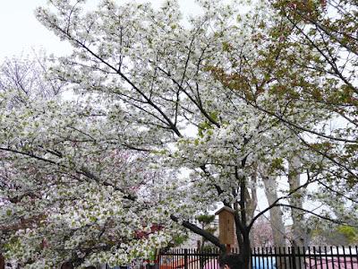 大阪造幣局 桜の通り抜け 琴平