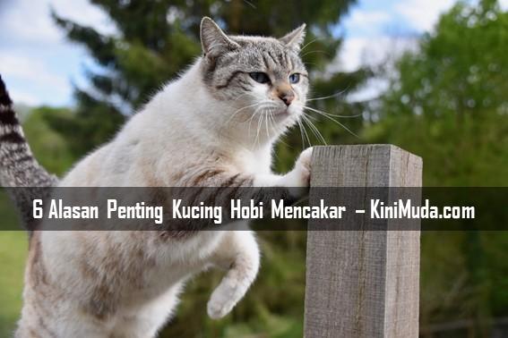 6 Alasan Penting Kucing Hobi Mencakar