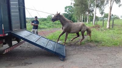 Polícia Rodoviária Federal apreende animais na BR-135 e BR-222 no Maranhão