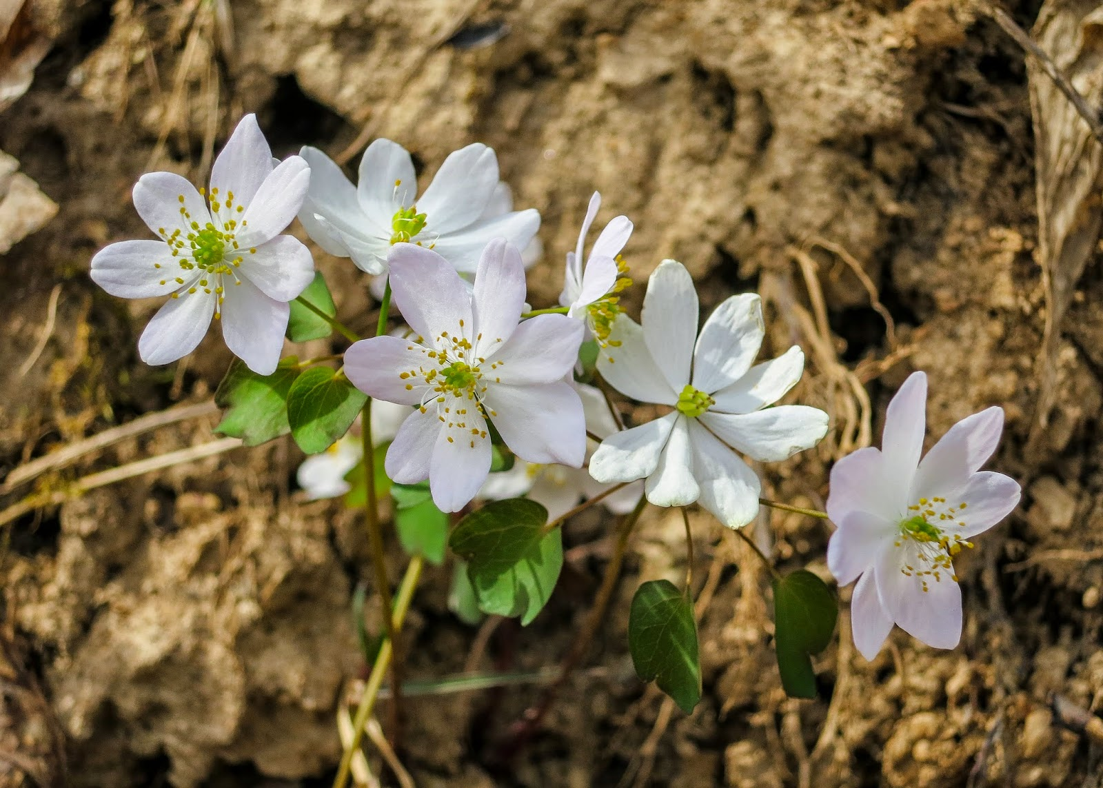 Rue Anemone, Thalictrum thalictroides