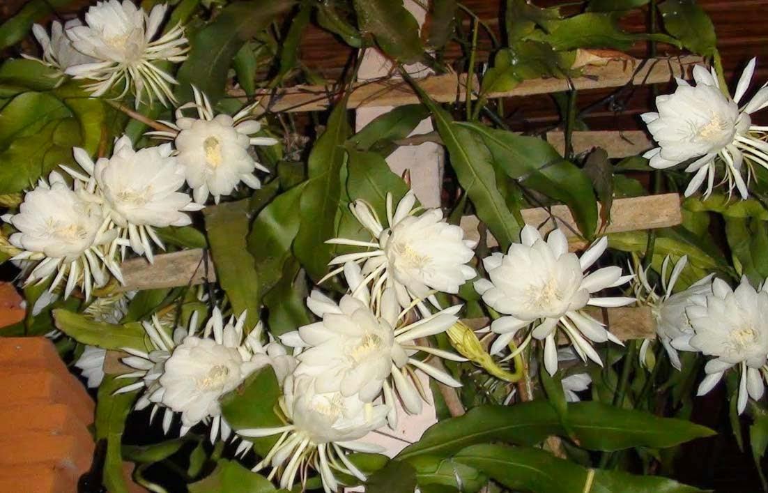 Manfaat Bunga dan Buah Wijayakusuma