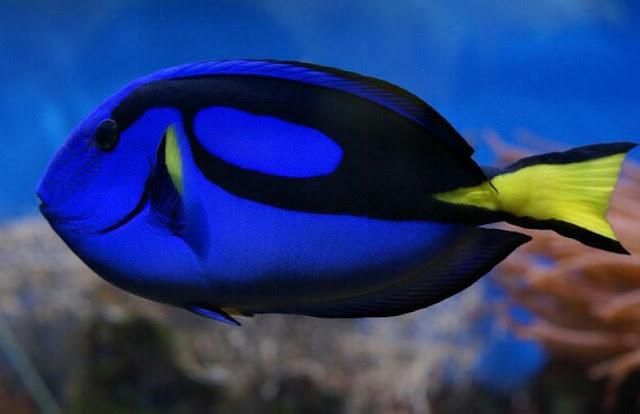 Ikan Hias Air Laut Botana Blue Tang