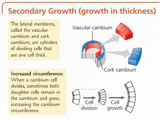 Pertumbuhan Sekunder pada Tumbuhan