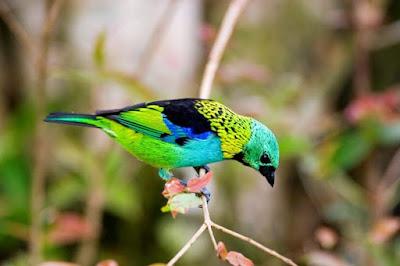Green-headed Tanager, saíra sete cores, aves, aves do brasil, birds, birding Brasil, pássaros, mata atlântica, aves da mata atlântica, animal, natureza