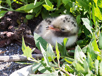 Common tern chick, Protected Island of fMaine - photo by Charles Homler