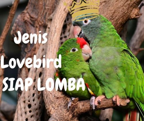 Jenis Lovebird Untuk Lomba dan Cirinya