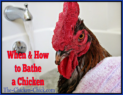 How to Give a Chicken a Bath