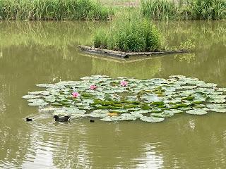 roze water lelies vijver